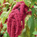 Õitsev rebashein on erksate õitega dekoratiivne taim.