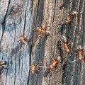 Ivo Linna mälumäng 117. Millise Eestimaa endise valla vapil oli kujutatud sipelgat?