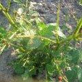 FOTOD: Kartulimardikad ründavad kartulipõldu