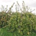 Lookas õunapuud