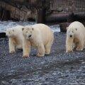 Karud arvavad nähtavasti, et inimesed kõlbavad süüa. Foto: Varvara Semjonova /  wwf.ru