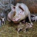 КАРТА: Свиная чума захватила почти всю Эстонию