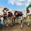 ВИДЕО | Коров в Нидерландах после долгой зимы наконец-то вывели на улицу. Но что-то пошло не так