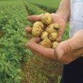 Kopsakas kartulisaak jääb seekord mulda