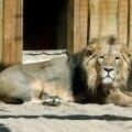 See Tallinna loomaaia lõvi ei ole juhtunuga seotud