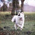 Jakuudi laika on maratoonar - ta on võimeline tundide ja kilomeetrite kaupa koos oma pererahvaga seiklema. Tegevust vajab see koer sama palju kui õhku.