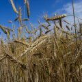 Naabreid hakatakse geneetiliselt muundatud põllukultuuride kasvatamisest teavitama