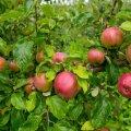 Õunad Polli istanduses.