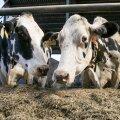 Eestis on suur osa holsteini karja – mullu ulatus nende osatähtsus juba 85 protsendini meie piimalehmade populatsioonist.