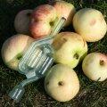 Kas aias on õunauputus? Kuidas valmistada õunaveini?