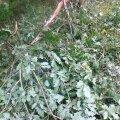 Lõhutud noored puud Tädu loodusõpperajal.