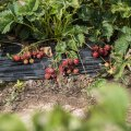 Korjajate puudusel riknevad maasikad põllul.