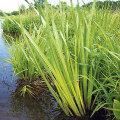 Looduslikult kasvab kalmus jõgede ja järvede kallastel, tiikides, ojades  ja kraavides.