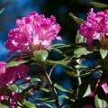 Smirnovi rododendron