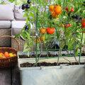 Kolm peamist viga, mida tomatite potis kasvatamisel tegema kiputakse