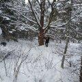 Lisaks vaidlusalusele lageraiele on metsaomanik Imbi Niidul plaanis teistel sama kinnistu eraldistel ka harvendusraie. Ka selle tegemine seisab vaidluste taga, sest pole ju mõtet masinaid mitu korda metsa vedada. See tamm jääb aga igal juhul alles, kuna ta on seotud Märjamaa lahingutega. Ja lihtsalt üks ilus puu.