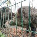 Loomaparkides elavad metssead pandi karantiini