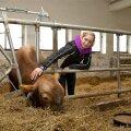 Muuluka Farmi OÜ on võtnud endale ülesande koos Eesti Maakarja Seltsiga hakata kasvatama EK tõupulle.
