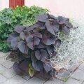 Bataadi mustjaspunaste lehtedega sort on kaunis kontrastis hõbedase padipõõsaga.