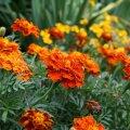 Какие растения избавят от надоедливых насекомых на даче?