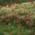 Kaelus-ussitatra (Bistorta amplexicaulis 'Fire Dance') ja sarik-astri (Aster umbellatus) punased ja valged õisikud annavad koos vahva õhulise kontrasti.