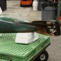 Mereväelasest delfiin leidis 130 aasta vanuse torpeedo