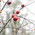 Viljapuid kaitseb talvel võrk