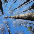 KAART, FOTO   Üllatuslik leid: riigimetsast avastati Eesti kõrgeim haavapuu!