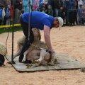 Professionaalide käes läheb lambapügamine väga ruttu.