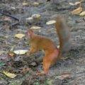 Tegus orav Peterhofi pargis