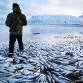 Miljonid raisus, loodus hukas: Heeringas on Islandi jaoks tähtis ekspordiartikkel ja nende massilist hukkumist üritatakse kõigiti ära hoida.