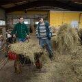 Tavalised võõrtöölised, rahuolevad ja usinad. Isa ning poeg Jevgeni ja Nikolai Hoderev Järvamaal Sargvere Palu farmi vasikalaudas. Sargvere põllumajandusühistus töötab ka ema. Peremees Toomas Uusmaa kiidab.