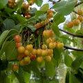 Seedri Puukool, istikud, marjapõõsad, taimed, marjad, puud, viljapuud