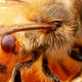 Varroalest ehk varroa destructor mõjub mesilasperedele nagu pandeemia.
