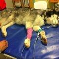 Koduaiast lahti pääsenud koer jõudis pererahva juurde tagasi verisena ja läbilastud kopsuga