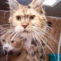 В многоквартирном доме в жутких условиях содержались 25 котов. Животные находились на грани смерти