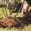 Puude-põõsaste hooldamisel tekib oksarisu, mis on mõistlik roosi- või marjapõõsaste alla multšiks hakkida.