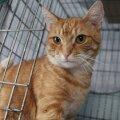 Sõbralik ja lepliku iseloomuga kassipoiss otsib stabiilset kodu