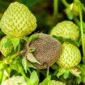 Maasika hahkhallitusega nakatunud marjad on pehmed ja mädanevad, niiske ilmaga on märgata hallikat kirmet. Ärge kasutage maasikapeenart rajades köögiviljajäätmetest valmistatud komposti ega orgaanilisi väetisi. Haigete marjade ärakorjamine aitab haiguse levikut vähendada. Võimaluse korral asetage marjade alla põhku ja korjake saaki sagedasti. Haigusest kahjustatud marjad korjake ära ja matke maha.