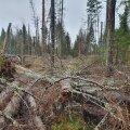 Ürask on kõva tegija puiduturul.