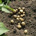 Mullune kartulisaak säilib kehvasti