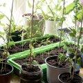 Ettekasvatus tuleks ajastada nii, et istutamisel ei oleks taimed liiga välja veninud.