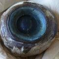 Florida rannalt leitud silmamuna