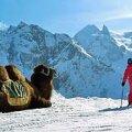 DOMBAI MÄGEDES: Kaukaasias võib kaamel olla tõeline kuurordiaksessuaar. Terje Toomistu