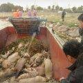 Hiina jõest leitud seakorjuste arv tõusis 6000-ni