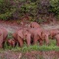 Слоны сбежали из заповедника и оставили после себя 500 километров разрушений