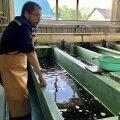 Ленинградская АЭС выпустила в реку Нарва сотни особей молодого атлантического лосося