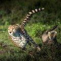 Gepard suudab joosta kuni 113 kilomeetrit tunnis