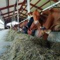 Muraka farmi piimakari sööb kvaliteetset rohusilo.