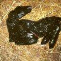 Kui karjas on tavalisest rohkem aborte ja väärarenguid, viitab see Schmallenbergi viirusele.